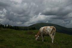 Kuh in der Nock-Alpe, Österreich Lizenzfreies Stockbild