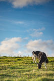 Kuh in der Sommersonne Stockfoto
