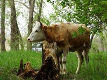 Kuh in der Weide Stockfotografie