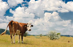 Kuh an der Wiese Stockfotografie