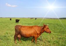 Kuh in der Wiese. Lizenzfreie Stockbilder