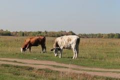 Kuh in der Wiese Lizenzfreie Stockfotografie