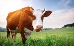 Kuh in der Wiese stockbilder