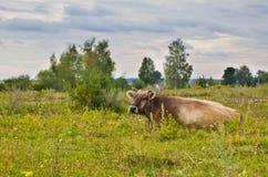 Kuh in der Wiese Lizenzfreie Stockbilder