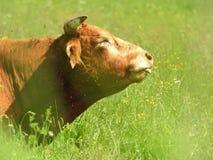 Kuh in der Wiese Stockbild
