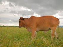 Kuh in der Wiese Lizenzfreies Stockbild