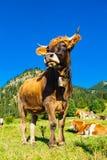 Kuh in der Wiese Stockfoto