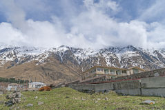 Kuh in der Wurzel des Berges Kazbek Stockbild
