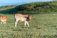 Kuh, die auf Ackerland weiden lässt Stockbilder