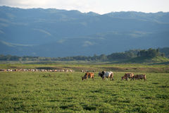 Kuh, die auf Ackerland weiden lässt Lizenzfreie Stockfotos