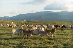 Kuh, die auf Ackerland weiden lässt Stockbild