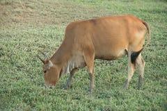 Kuh, die auf Ackerland weiden lässt Stockfotografie