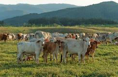 Kuh, die auf Ackerland weiden lässt Lizenzfreie Stockfotografie