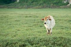 Kuh, die auf Ackerland weiden lässt Lizenzfreies Stockfoto