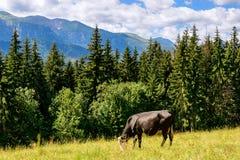Kuh, die auf dem Abhang weiden lässt Lizenzfreie Stockfotografie