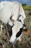 Kuh, die auf dem Gebiet weiden lässt Stockbilder