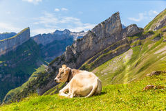 Kuh, die auf dem Gras liegt Lizenzfreies Stockfoto