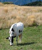 Kuh, die auf den Alpen weiden lässt Lizenzfreie Stockfotos