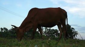 Kuh, die auf der Wiese weiden lässt stock video footage