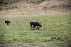 Kuh, die auf einem Bauernhof in der Landschaft weiden lässt stockfoto