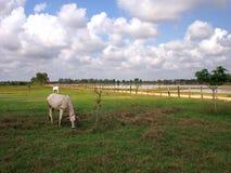 Kuh, die auf einem Feld in der Kambodscha-Landschaftsansicht weiden lässt stockfotos