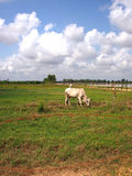 Kuh, die auf einem Feld in Kambodscha weiden lässt Stockfoto