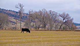Kuh, die auf einem Gebiet im Winter weiden lässt Lizenzfreies Stockfoto