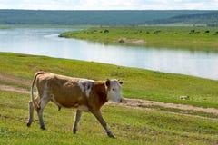 Kuh, die auf einer Wiese nahe bei einem Fluss am sonnigen Tag des Sommers weiden lässt stockfoto