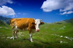 Kuh, die auf grünem Gras stillsteht Lizenzfreie Stockbilder