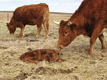 Kuh, die auf ihrem neugeborenen Kalb überprüft Lizenzfreies Stockfoto