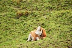 Kuh, die auf Steigung liegt Lizenzfreies Stockbild