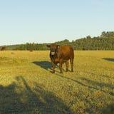 Kuh, die in Chile weiden lässt Lizenzfreie Stockfotografie