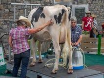 Kuh, die Demonstration am Calgary-Ansturm milk Stockbilder