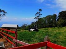 Kuh, die den Horizont betrachtet lizenzfreie stockbilder