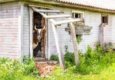 Kuh, die durch einen Eingang schaut Lizenzfreie Stockbilder