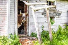 Kuh, die durch einen Eingang schaut Stockbilder