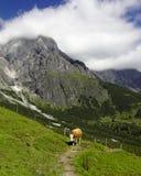 Kuh, die eine alpine Spur blockiert Lizenzfreie Stockbilder