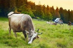 Kuh, die in einer Wiese weiden lässt Lizenzfreies Stockbild
