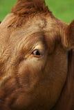 Kuh, die gerade mir betrachtet Stockbild