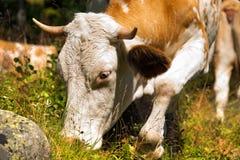 Kuh, die grünes Gras im Berg isst Stockfotos