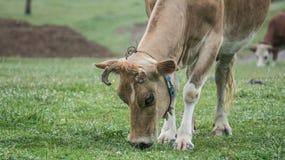 Kuh, die Gras auf dem Feld isst Lizenzfreie Stockbilder