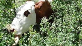 Kuh, die Gras auf einer alpinen Weide isst stock video footage