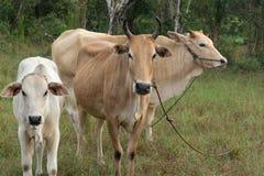 Kuh, die Gras am Feld isst Stockfotos