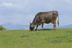 Kuh, die Gras isst Lizenzfreie Stockfotos