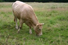 Kuh, die Gras isst lizenzfreies stockbild