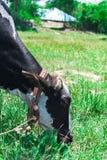 Kuh, die Gras isst Lizenzfreies Stockfoto