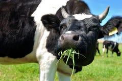 Kuh, die Gras kaut Lizenzfreie Stockfotos