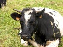 Kuh, die im Gras, Landwirtschaft stillsteht. Stockfotografie