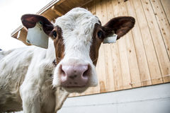 Kuh, die innerhalb der Kamera schaut lizenzfreies stockbild