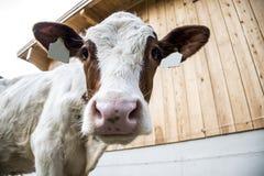 Kuh, die innerhalb der Kamera schaut lizenzfreies stockfoto